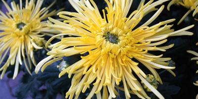 Chrysanthemenschau