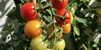 Gemüsesetzlinge
