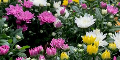 Chrysanthemen-Zeit